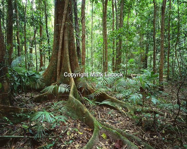 Buttress Roots, Daintree National Park, Queensland
