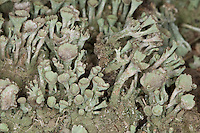 Echte Becherflechte auf einem alten Zaunpfahl, Totholz, Cladonia pyxidata s.l., Cup Lichen
