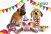 Interlitho-Alfredo, REALISTIC ANIMALS, REALISTISCHE TIERE, ANIMALES REALISTICOS, photos+++++,dogs, party,KL16583,#a#, EVERYDAY