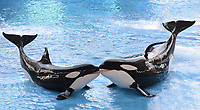 SMG_Sea World_FLXX_Blackfish_Xmas_122013_02.JPG<br /> <br /> ORLANDO, FL - DECEMBER 20: Besieged theme park SeaWorld has launched its first major PR attack against Blackfish in an attempt to offset almost 12 months of damage caused by the chilling documentary, which chronicled the aquarium's 39-year treatment of killer whales in captivity.  Hit with cancellations from high-profile performers and school field trips, coupled with aggressive animal activist campaigns and a tarnished image, the Orlando-based marine park has placed full-page ads in eight of the country's largest newspapers, rationalizing their whale practices.  The 'Open Letter from SeaWorld's Animal Advocates' — which appears in today's Orlando Sentinel, New York Times, Wall Street Journal and USA Today, among other papers — defends the way SeaWorld cares for the 29 whales in its corporate collection.  Although it doesn't identify Blackfish, the ad is the first step in the company's move to rebut the wide-spread criticisms raised by the film, such as allegations that captivity turned orca Tilikum - the world's largest whale held in captivity - into a killer, according to The Orlando Sentinel SeaWorld has previously dismissed the doco as propagandist and inaccurate.  Tili' was responsible for the deaths of three people, most notably that of trainer Dawn Brancheau, who he grabbed and dragged underwater until she drowned during a 2010 training session in Florida. The Oscar-buzzing documentary - which details Tilikum's life, starting with being forcibly removed from his family in 1983 near Iceland - claims the whale's living conditions effectively turned him into an aggressive killer. It also includes scientific data saying there has never been one reported case of whales attacking humans in the wild on December 20, 2013 in Orlando, Florida. (Photo By Storms Media Group) <br /> <br /> People:  Sea World<br /> <br /> Transmission Ref:  FLXX<br /> <br /> Must call if interested<br /> Michael Storms<br /> Stor