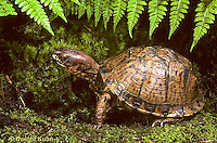 1R07-085z  Eastern Box Turtle - Terrapene carolina
