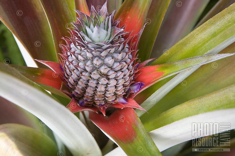 Tropical Hawaiian pineapple