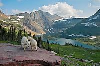 Mountain Goat (Oreamnos americanus) kids playing--dominance behavior.  Glacier National Park, Montana.  Summer.