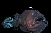 deep sea anglerfish, angler fish, doublespine seadevil or black seadevil, Diceratias pileatus, uses bioluminescent lure to attract prey in the deep ocean; brought up from a depth of 3,300 feet (1,000 m) in a water intake pipe at Natural Energy Lab of Hawaii (NELHA), Keahole, Kona Coast, Hawaii, Big Island, USA, Pacific Ocean (c) (dm)