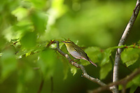 Waldlaubsänger, Wald-Laubsänger, Phylloscopus sibilatrix, Wood Warbler, Wood-Warbler, European woodland warbler, Pouillot siffleur