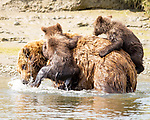 """Pictured: Two bear cubs cling to their mother's back as they hitch a ride across a wide river.   The six month old grizzlies hold on tightly as their mum crosses the fast flowing, 6ft deep water, as they are not yet strong enough to swim and their mother is trying to teach them not to be afraid of cold water.<br /> <br /> The images were captured by photographer Pattie Walsh in Lake Clark National Park, Alaska.   Mrs Walsh, who lives in Gilbert, Arizona, said: """"The cubs appeared to be a little apprehensive. They stayed close to their mum and latched on as tight as they could.   SEE OUR COPY FOR DETAILS<br /> <br /> Please byline: Pattie Walsh/Solent News<br /> <br /> © Pattie Walsh/Solent News & Photo Agency<br /> UK +44 (0) 2380 458800"""