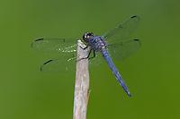 Slaty Skimmer (Libellula incesta) Dragonfly - Male, Doodletown Road, Bear Mountain State Park, Stony Point, Rockland County, New York
