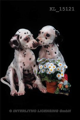 Interlitho, Alberto, ANIMALS, dogs, photos, 2 dalmatians, flowers(KL15121,#A#) Hunde, perros