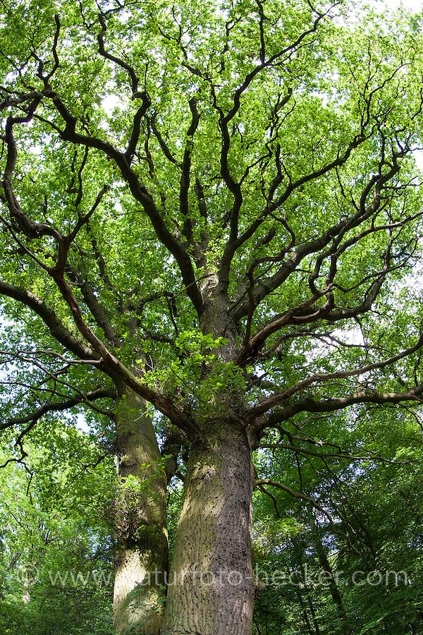 Stiel-Eiche, Stieleiche, Eiche, Quercus robur, English Oak, Chêne commun