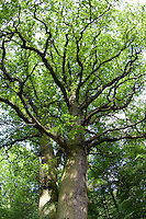 Stiel-Eiche, Stieleiche, Eiche, Quercus robur, English Oak, Chêne commun