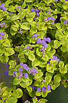 AGERATUM 'LEMON LIME', FLOSSFLOWER