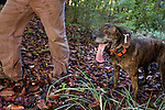 Plott Hound (Canis familiaris) with houndsman, Troy Collinsworth, during attempt to re-collar a male puma, Santa Cruz Puma Project, Uvas Canyon County Park, Santa Cruz Mountains, California