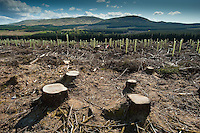 Cleared forestry with tree stumps and re-planted trees behind, Dundeugh Forest, The Glenkens, near Carsphairn, Dumfriesshire, Scotland.....Copyright..John Eveson,.Dinkling Green Farm,.Whitewell,.Clitheroe,.Lancashire..BB7 3BN.Tel. 01995 61280.Mobile 07973 482705.j.r.eveson@btinternet.com.www.johneveson.com