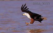 Carl, ANIMALS, wildlife, photos(SWLA2153,#A#)