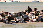Gray Seals hauled out on the Chatham Bars, Cape Cod.  Seal in the middle is howling.