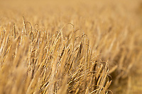 16-7-2021  Spring barley <br /> ©Tim Scrivener Photographer 07850 303986<br />      ....Covering Agriculture In The UK....