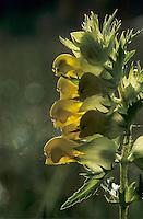 European Yellowrattle, Rhinanthus alectorolophus, blooming, Oberaegeri, Switzerland, May 1995