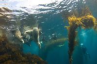 California sea lions, Zalophus californianus, San Benito Island, Baja California, Mexico