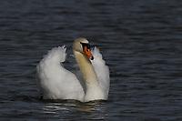 Mute Swan, San Angelo, TX