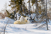 mother polar bear, Ursus maritimus, with cubs, COY, near snow den at Wapusk National Park, Hudson Bay, Churchill area, Manitoba, northern Canada, polar bear, Ursus maritimus