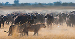 African lions and buffalo, Botswana