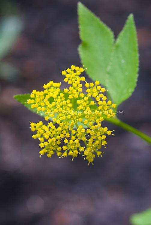 Zizia aptera in yellow bloom, Golden Alexander,
