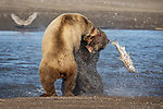 Pictured:  Sequence 5 of 13:  The mum having caught the fish is attacked by the other bear sending the fish flying through the air<br /> <br /> Grizzly bears viciously attack each other as they battle over a fish.  The two brown-haired bears became aggressive as they came to blows over their food, digging their paws and teeth into each other.<br /> <br /> Photographer Kevin Dooley spotted the female bear, thought to be about 16 years old, fighting with the younger five-year-old male bear in southwestern Alaska.  SEE OUR COPY FOR DETAILS.<br /> <br /> Please byline: Kevin Dooley/Solent News<br /> <br /> © Kevin Dooley/Solent News & Photo Agency<br /> UK +44 (0) 2380 458800
