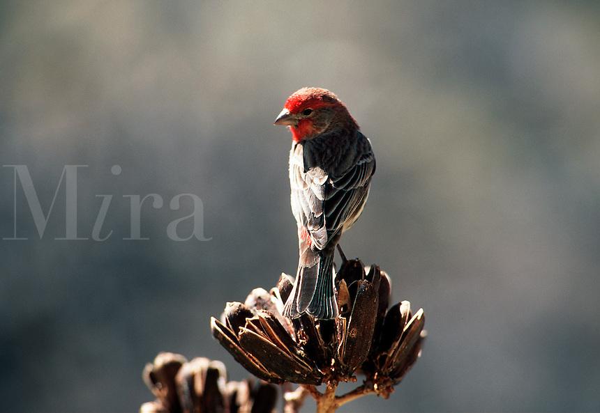 House Finch - male. (Carpodacus mexicanus) Fringillidae, seedeater. Arizona.