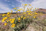 Anza-Borrego Desert State Park, Borrego Springs, California; a patch of yellow Desert Sunflowers with blue skies and cloud formations in the background