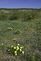 Spring Pheasant's Eye, Adonis vernalis, flowers in habitat, National Park Lake Neusiedl, Burgenland, Austria, April 2007