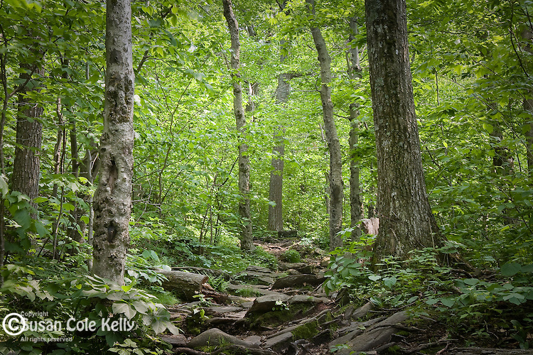 Old growth hardwood forest crowns Wachusett Mountain State Reservation in Princeton, MA, USA