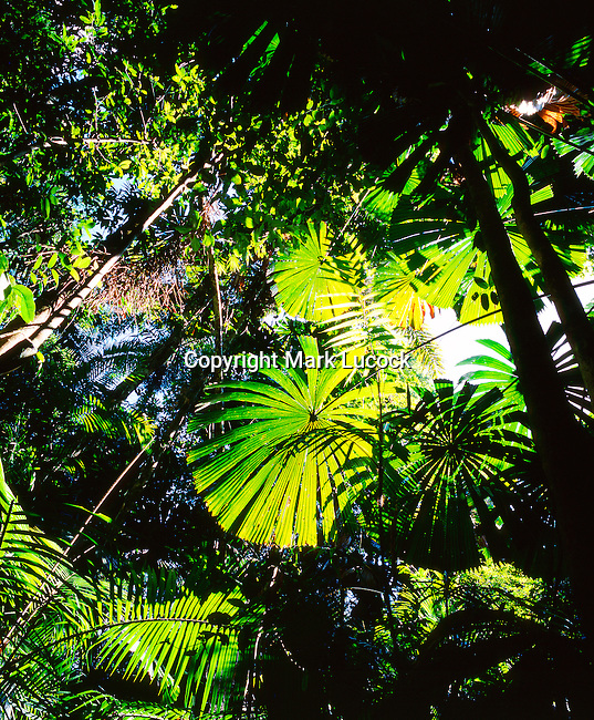 Licuala Palm, Daintree National Park, Queensland