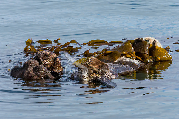 Sea Otter (Enhydra lutris) mom resting in kelp while her pup practices cleaning/grooming.  California coast.