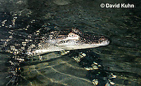 0117-0901  Young American Alligator at Night, Alligator mississippiensis  © David Kuhn/Dwight Kuhn Photography.