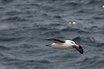 A black-browed albatross flies above the South Atlantic Ocean.