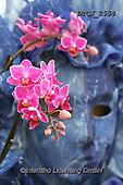 Gisela, FLOWERS, BLUMEN, FLORES, photos+++++,DTGK2558,#f#, EVERYDAY ,orchids