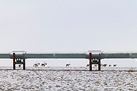Barren ground Caribou cross the snow covered tundra and pass under the Trans Alaska Oil Pipeline, Arctic, Alaska