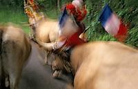 Europe/France/Auvergne/12/Aveyron/Env. de Saint-Come d'Olt: Passage du troupeau lors de la transhumance en Aubrac - Détail décorations des vaches