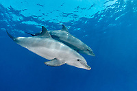 Indo-Pacific bottlenose dolphin, Tursiops aduncus, Yellow Fish Reef, Abu Nuhas, Strait of Gubal, Egypt, Red Sea, Indian Ocean