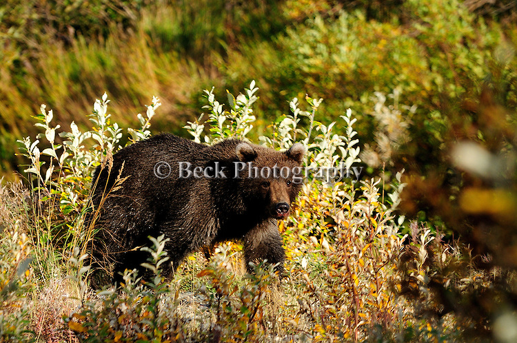 A wet grizzly bear, Ursus arctos horribilis, come up on shore after wading the river in search of salmon.