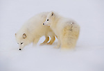 Arctic foxes (Vulpes lagopus), Manitoba, Canada<br /> <br /> During breeding season, arctic foxes form monogamous pairs. Both fend for the kits when they are born.