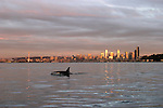 Seattle, Orca whale, Seattle skyline, waterfront, Elliott Bay, Puget Sound, Pacific Northwest, Washington State, USA, Orcinus orca;