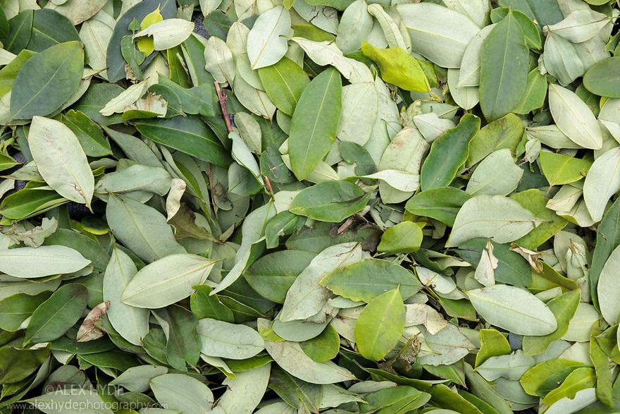 Coca (Erythroxylum coca) leaves drying in the sun. Amazonia, Peru. November.