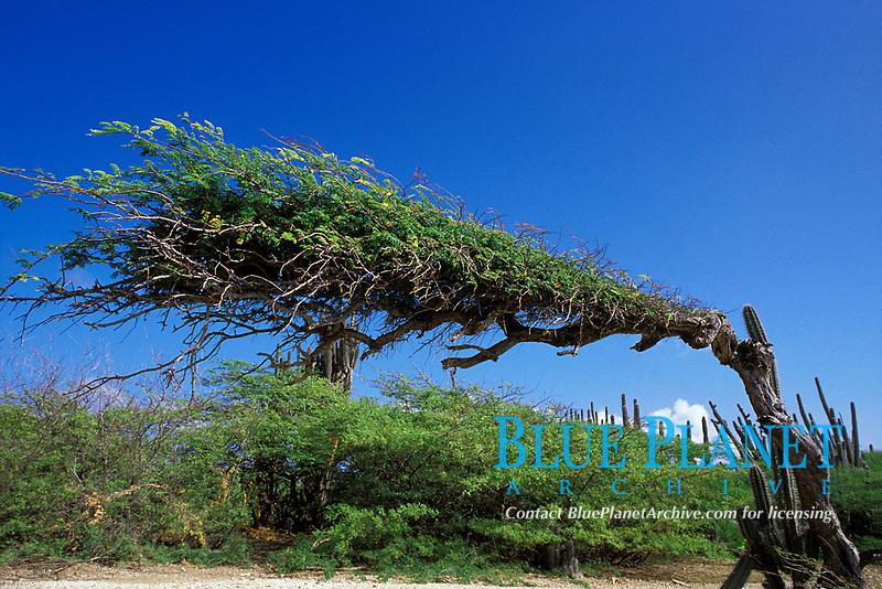 divi divi tree, Caesalpinia cariara, bends away from prevailing trade winds, Bonaire Netherland Antilles (Dutch ABC Islands) (Caribbean, Atlantic)