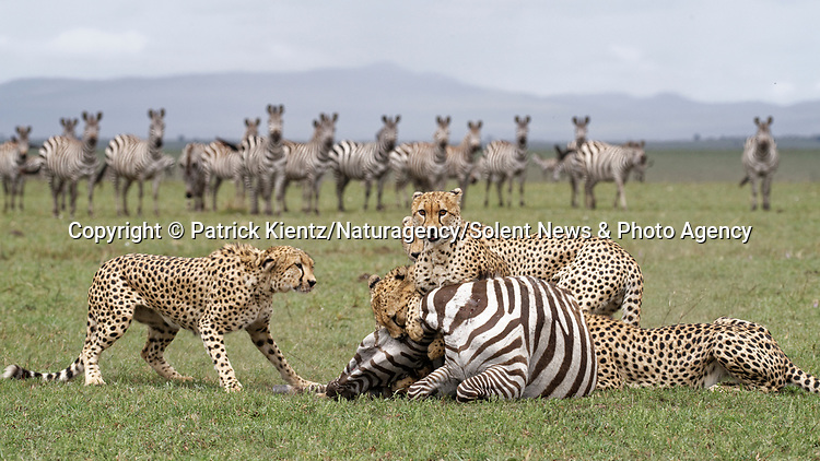 NOTE FOR ONLINE:  MAXIMUM OF 10 IMAGES TO BE USED FROM SET - UNLESS OTHERWISE AGREED.<br /> <br /> Sequence 11 of 16:  Cheetahs are forced to sit and watch hyenas eat their hard-fought kill after they arrived late and claimed it for their own.  The unlucky coalition of five cheetahs spent 30 minutes hunting and killing the zebra at the Masai Mara National Reserve, Kenya.<br /> <br /> But, just as the group of siblings were about to eat their prey, opportunistic hyenas arrived and claimed the carcass as their own. SEE OUR COPY FOR DETAILS.<br /> <br /> Please byline: Patrick Kientz/Naturagency/Solent News<br /> <br /> © Patrick Kientz/Naturagency/Solent News & Photo Agency<br /> UK +44 (0) 2380 458800