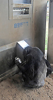 A chimpanzee recieves it's can of juice from a vending machine. Chimpanzees in Tama Zoo in the western suberbs of Tokyo buy soft drinks from a vening machine. The zoo, which is seen as one of Japan's most inovative, has installed a vending machine. The Chimps are given a 100 yen coin which they insert into a vending machine and are given a can of fruit or vegetable juice. The chimps then put the empty can into the waste machine for recycling.