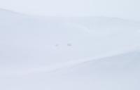 Bison endure the harsh winter in Hayden Valley.