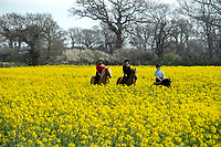 BNPS.co.uk (01202) 558833.<br /> Pic: ZacharyCulpin/BNPS<br /> <br /> Weather input<br /> <br /> Hot to trot - Horse riders make the most of the warm spring weather and gently trot through farmer's tyre tracks at a stunning yellow rape seed field (with farmers permission) near Christchurch in Dorset today (Sunday).