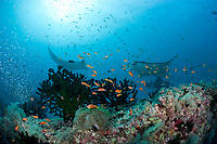 reef manta rays, Mobula alfredi, at cleaning station on coral reef with orange basslets and giant anemone with endemic blackfoot anemonefish in foreground, Dharavandhoo Thila, Baa Atoll, Maldives, Indian Ocean