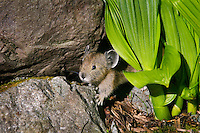 Young Pika (Ochotona princeps) in alpine rock pile.  Pacific Northwest.  Summer.